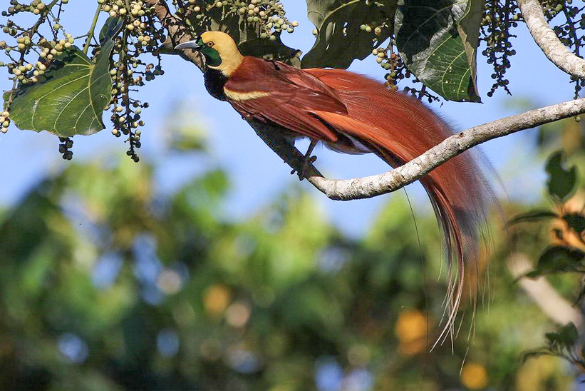 Birding Tour Papua New Guinea: Attenborough's Paradise August 2018