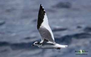 Cape pelagic