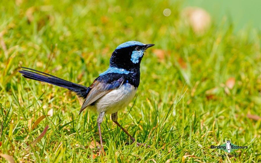 Tasmanian birding tours