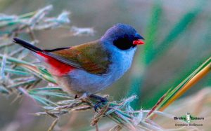 Agulhas Plains birding tours