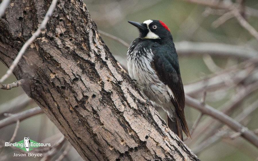 Complete California birding tour
