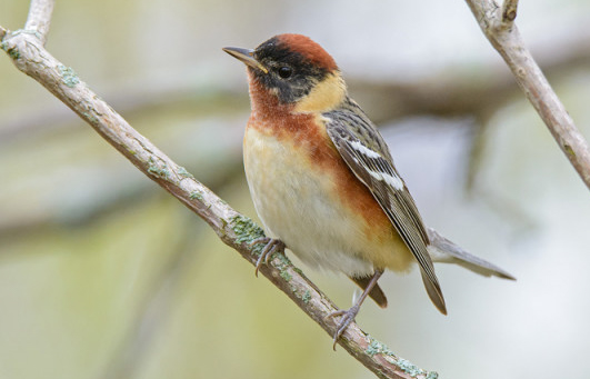 Birding Tour Canada: Point Pelee, Niagara Falls and Algonquin May 2019