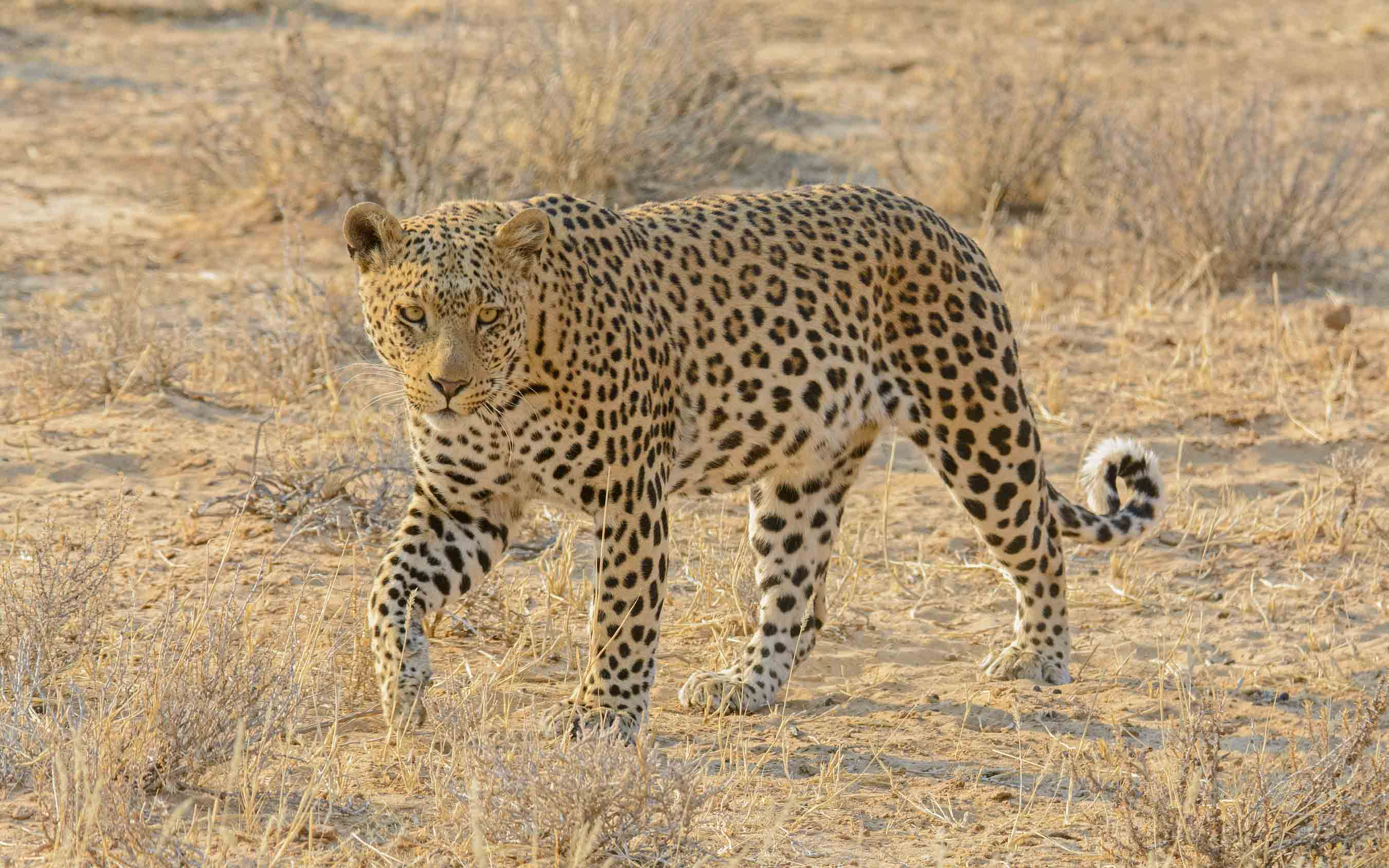 Mammal and Birding Tour South Africa: The Kalahari April 2020