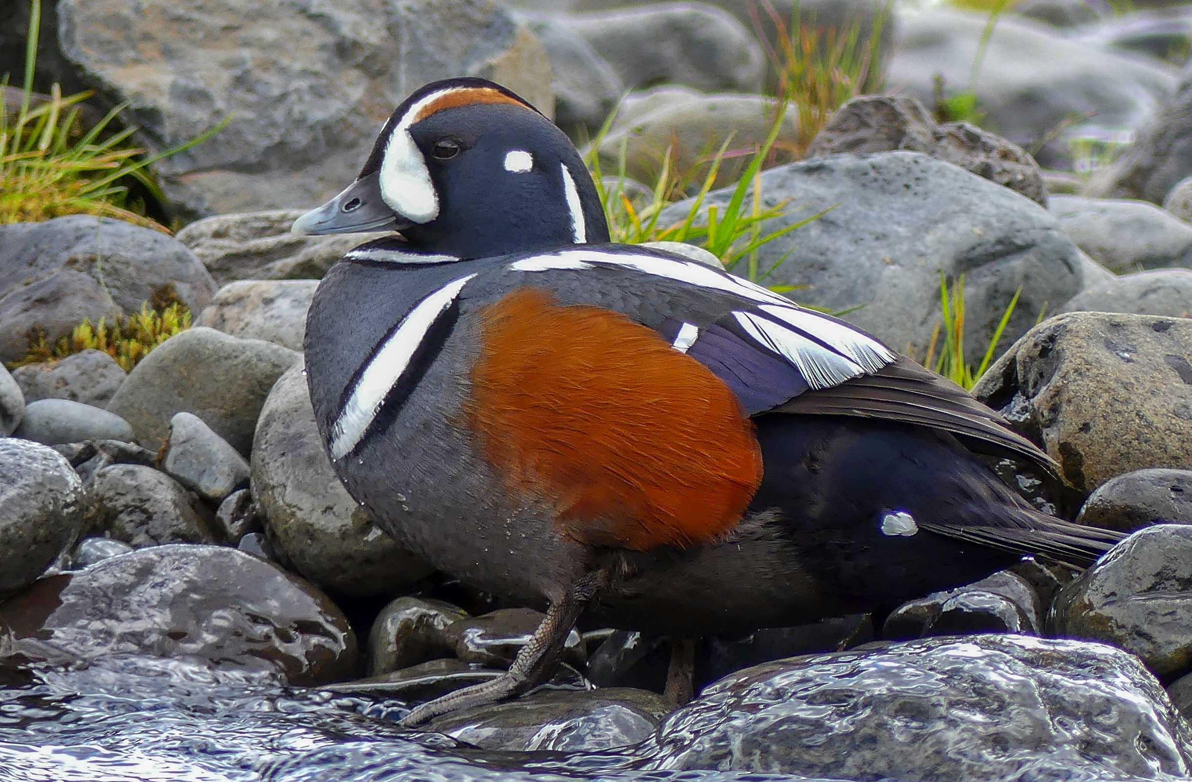 Birding Tour Iceland: Viking Birding June 2019
