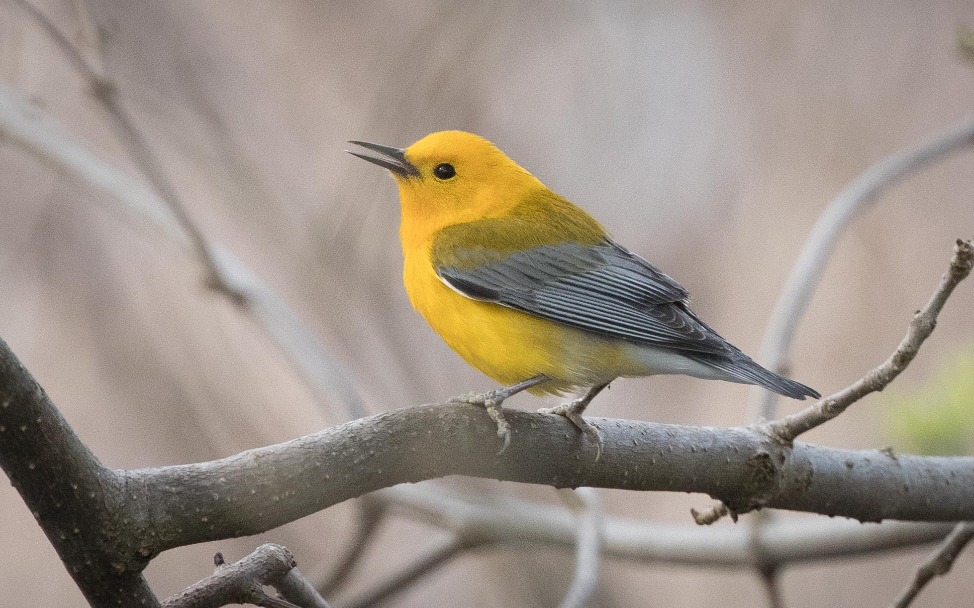 Birding Tour USA: Tennessee – Spring Migration May 2019