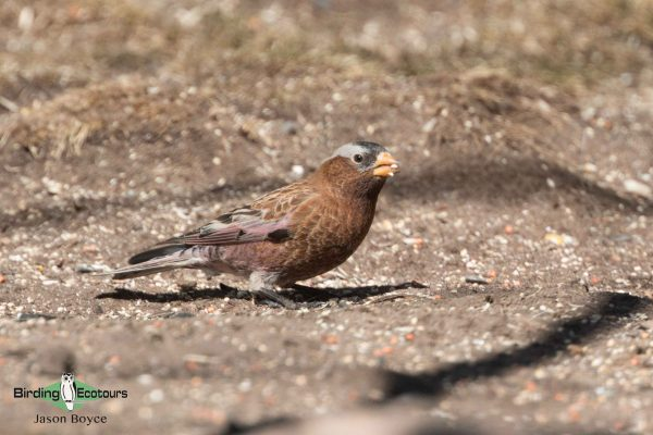 Grey-crowned Rosy Finch