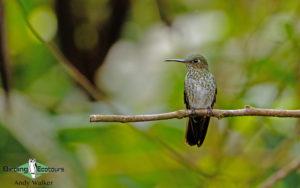 Northern Peru birding tours