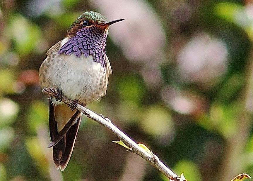 Birding Tour Panama: Wild Western Panama May 2019