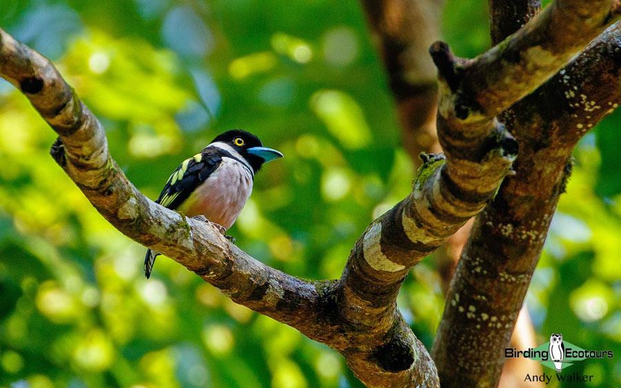 Peninsular Malaysia birding tours
