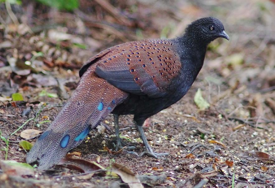 Birding Tour Malaysia: Peninsular Malaysia September 2018