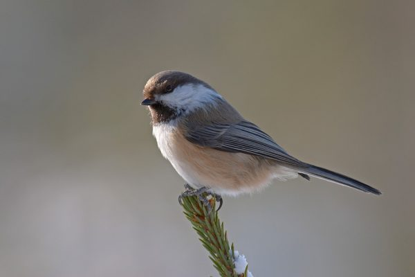 Grey-headed Chickadee