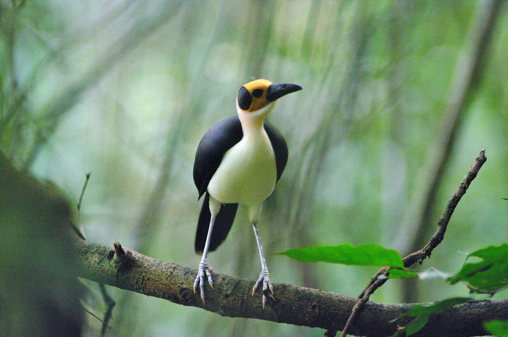 Birding Tour Ghana: Upper Guinea Forest and Pre-Sahel March 2020/2021