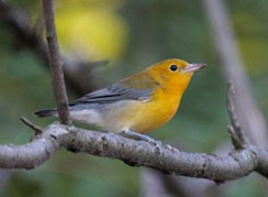 Prothonotary Warbler Photo by Tom Amico