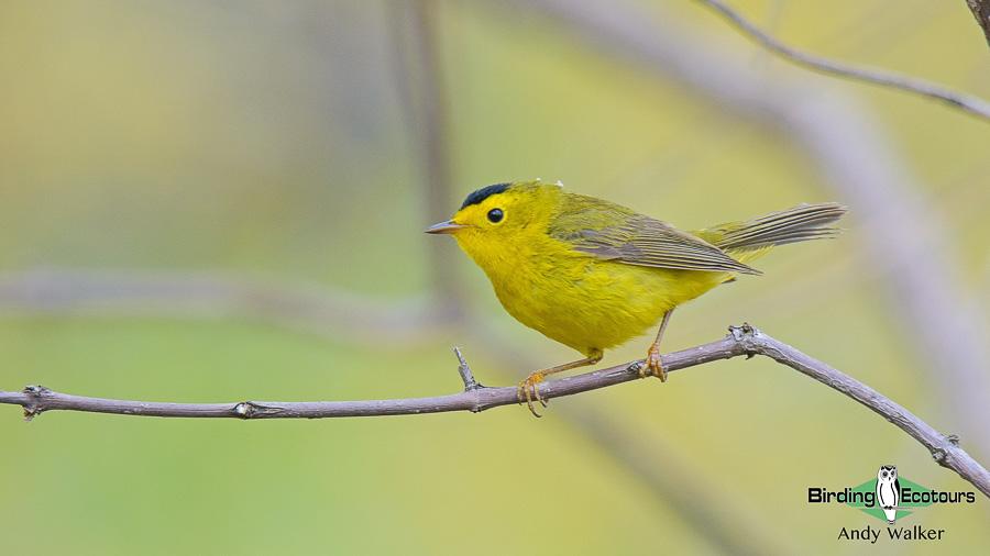 Biggest week in American birding