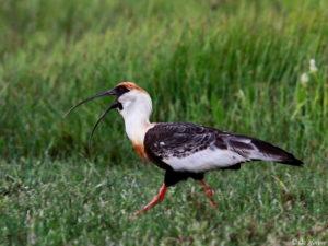 Brazil birding tour