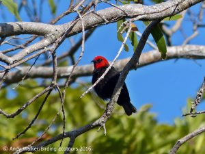 New Caledonia, Fiji, and Samoa birding tour