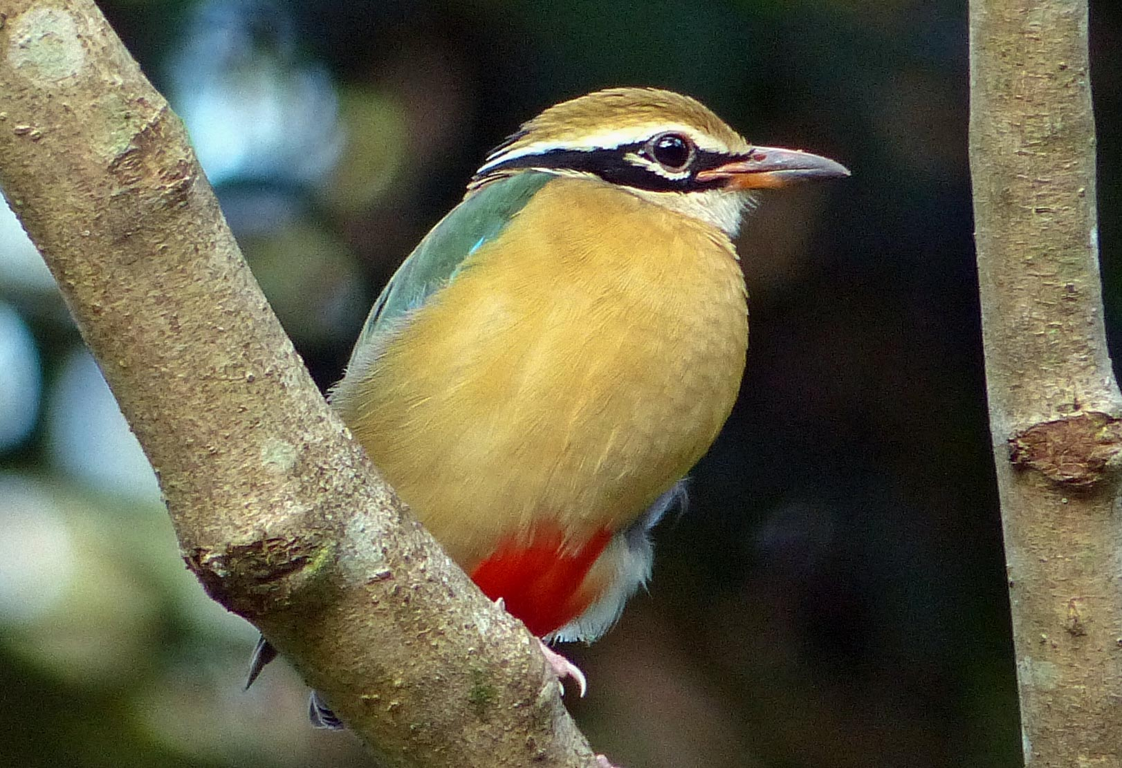 Birding Tour India: Western Ghats and Nilgiri Endemics January 2019