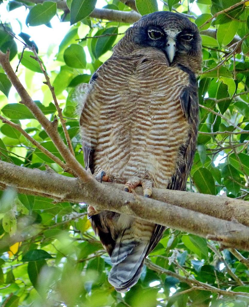 Rufous owl - photo#37