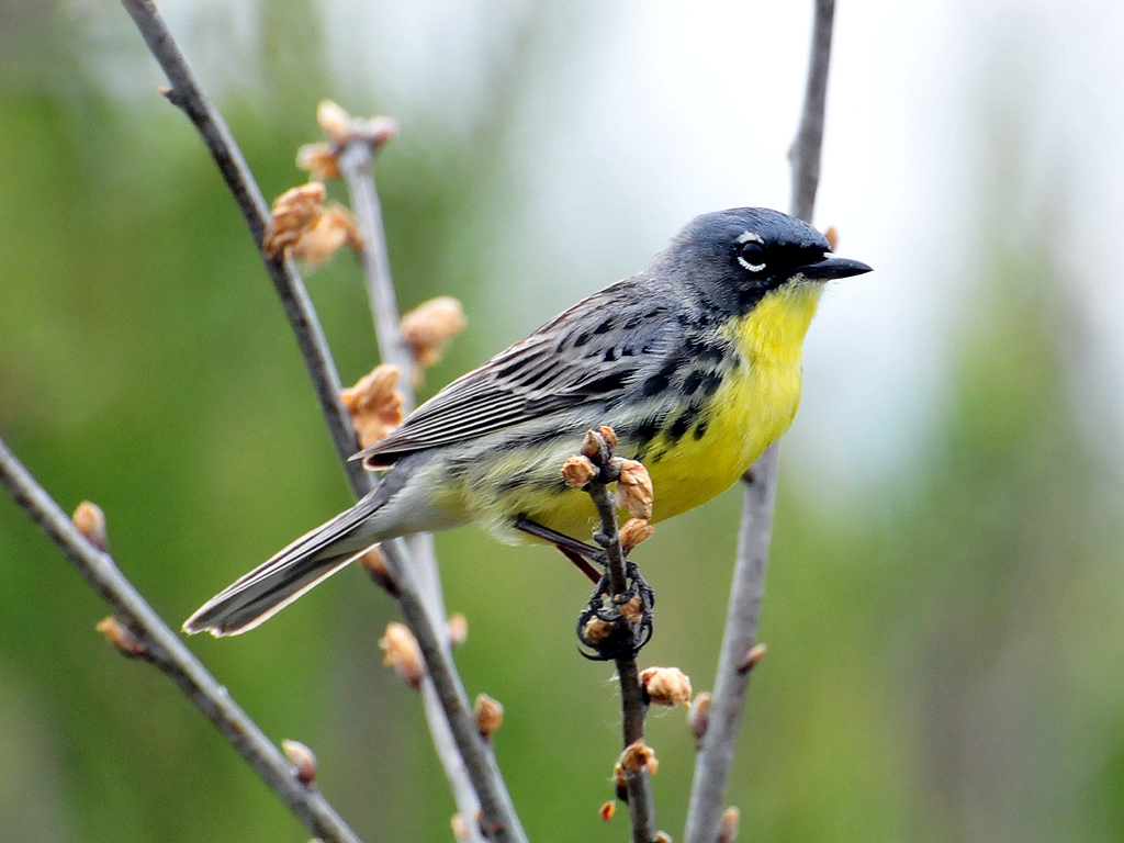 Birding Tour USA: Ohio – Eastern Warblers and Spring Migration Sensation May 2019
