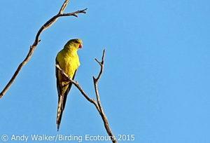 Australia birding tour