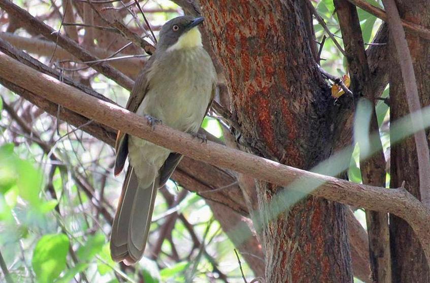 yellow throat leaflove bird