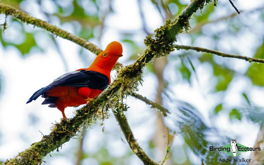 Northwest Peru birding tours