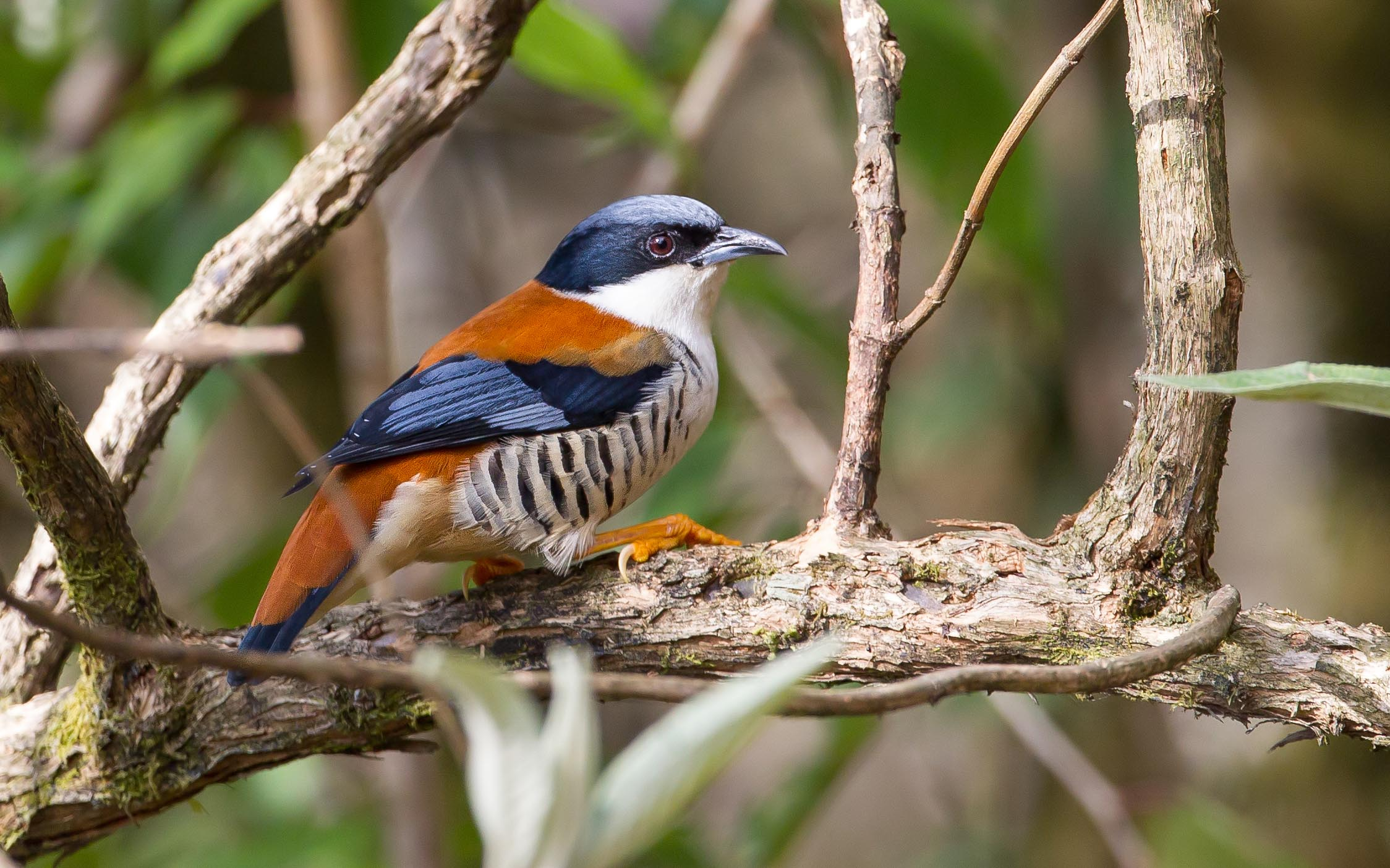 Birding Tour India: The Northeast – Birds and Mammals of Eaglenest, Nameri and Kaziranga March 2019