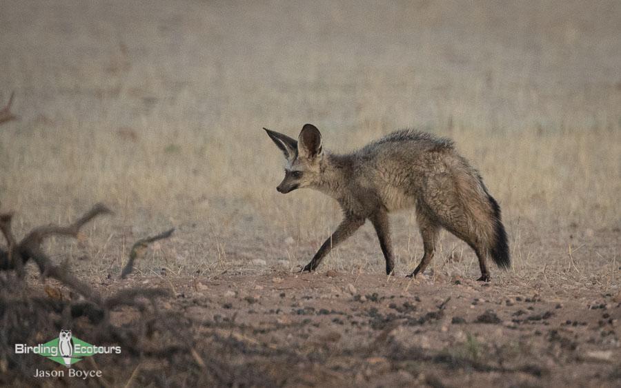 Kalahari mammal and birding tour