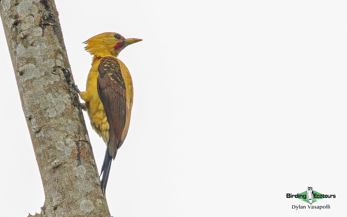 Manu Road birding tours