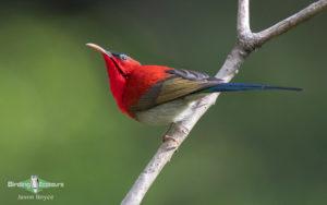 Himalayas birding tours