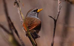 Diademed Sandpiper-plover birding tours