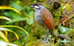 Southern Ecuador birding tours