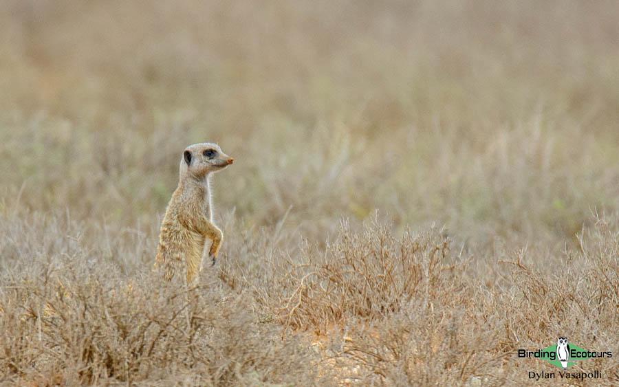 Kalahari mammal and birding tours