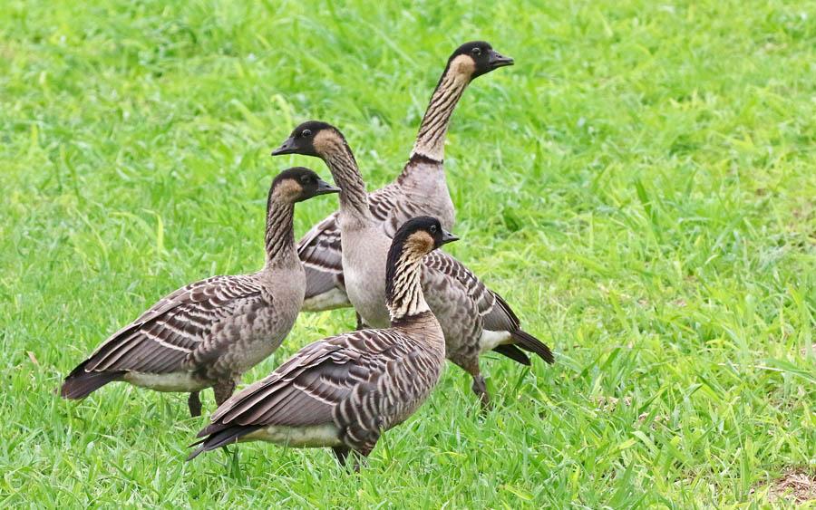 Hawaii endemic birding