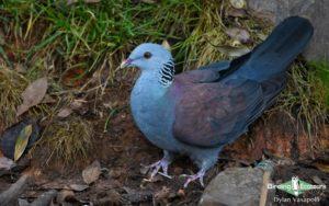 Western Ghats and Nilgiri birding tours