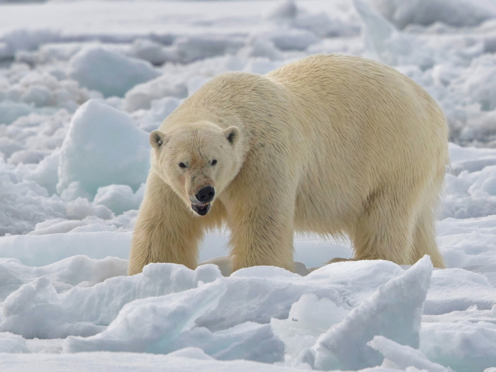 Mammal and Birding Cruise Norway: Svalbard (Spitsbergen) – Polar Bears and Seabirds June 2019