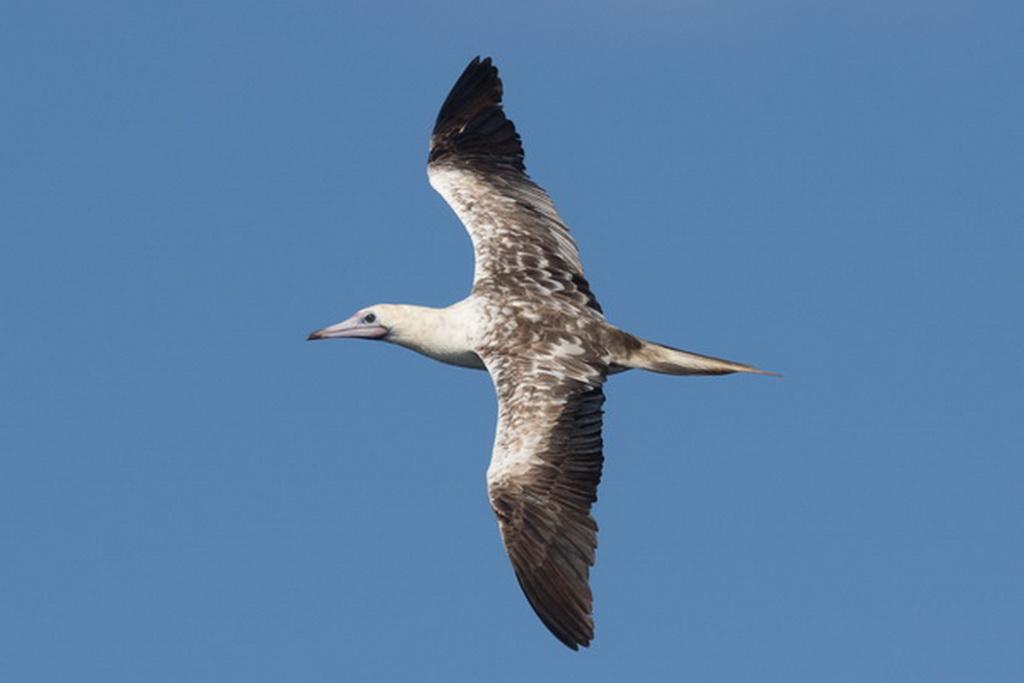Birding Cruise Galapagos: Natural History Extravaganza November 2019