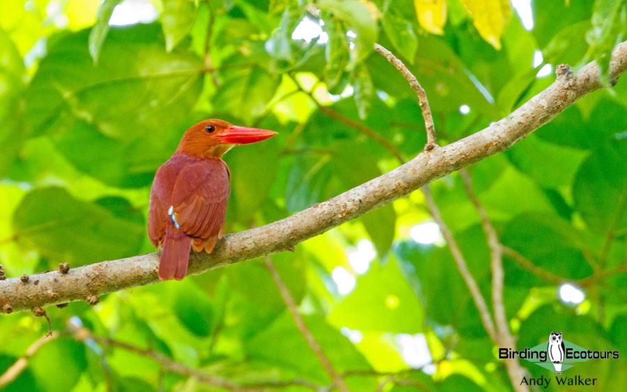 Southern Thailand birding tours