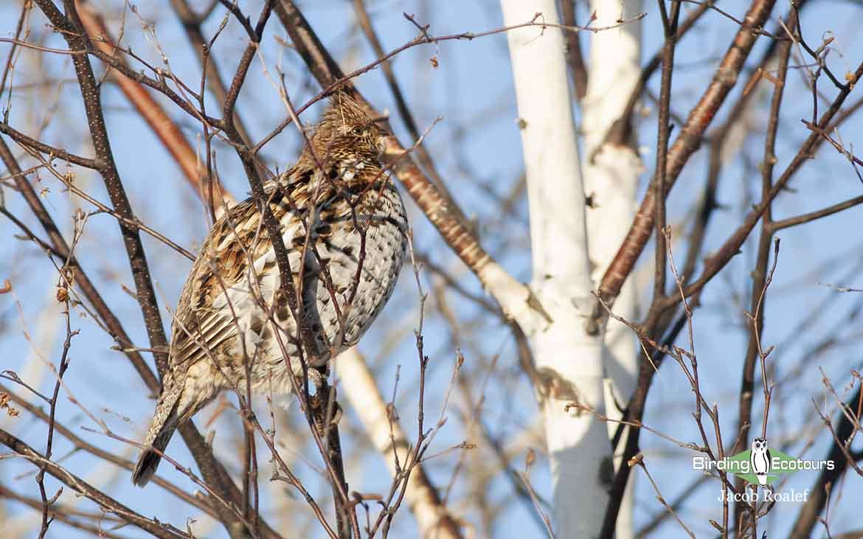 Minnesota birding tours