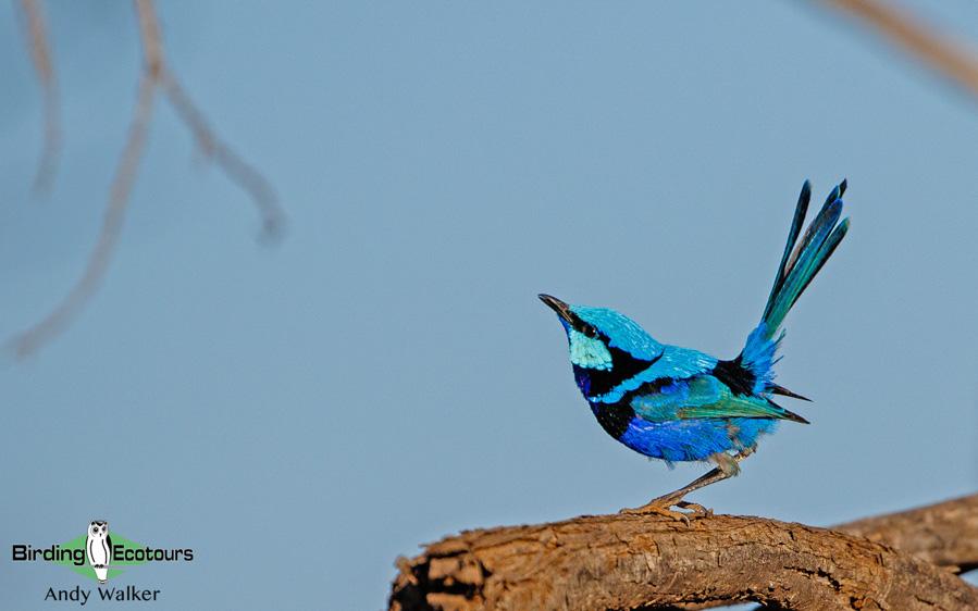 Southwest Australia birding tours