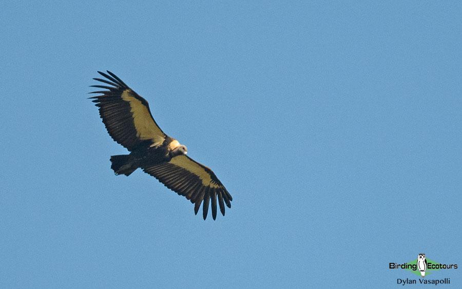 Southern India, Western Ghats and Nilgiri birding tours