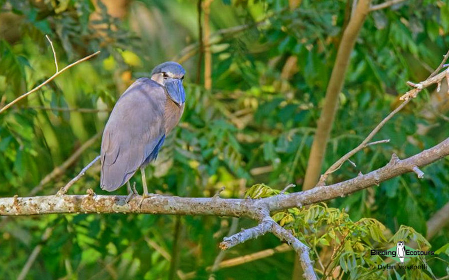 Central and Eastern Panama birding tours