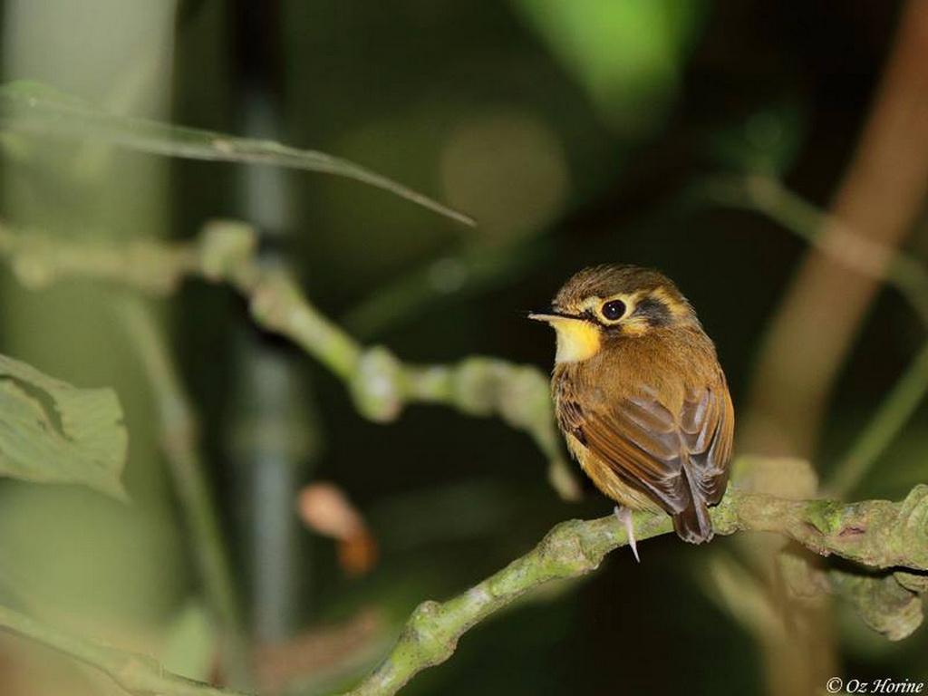 Southeast Brazil - Atlantic Rainforest birding tours
