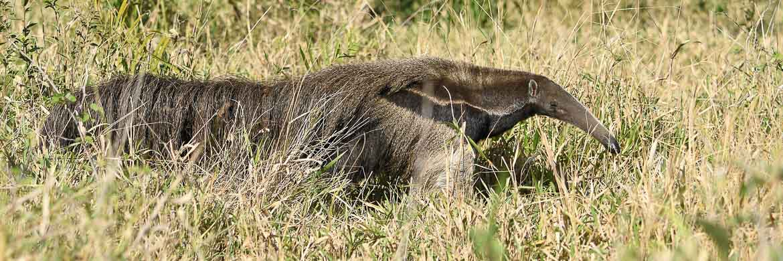 Cerrado endemics, Brazilian Merganser and Maned Wolf birding tours