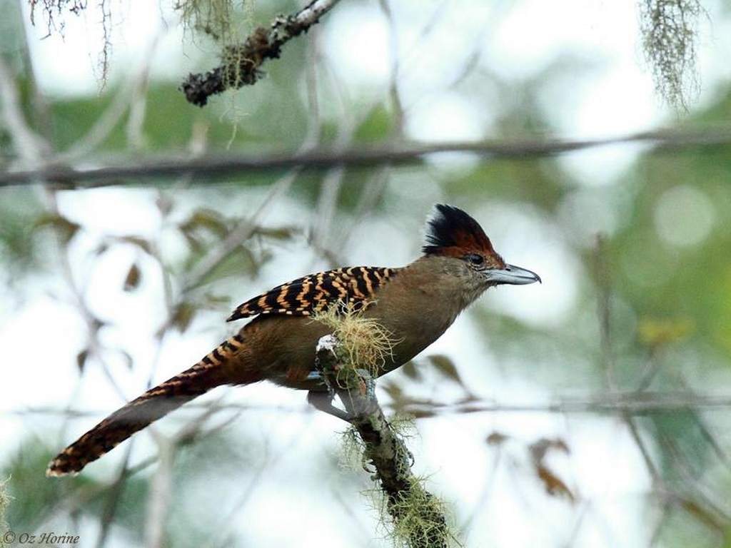 Southeast Brazil - Atlantic Rainforest birding tours