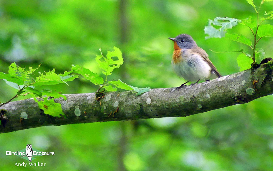 Bulgaria and Romania birding tours