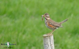 Iceland birding tours