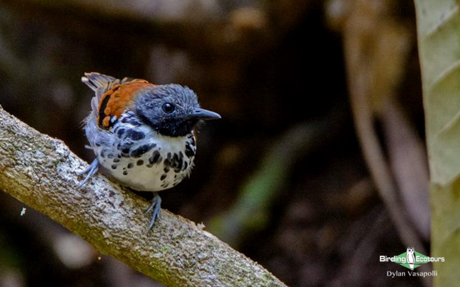 Wild Western Panama birding tours