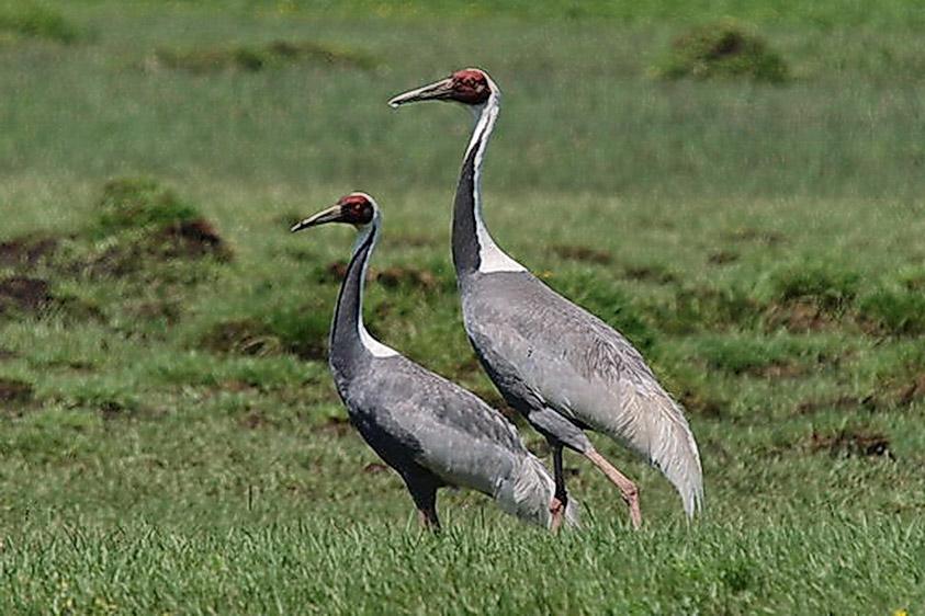 Mongolia birding tours