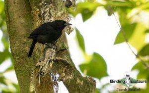 Jamaica birding tour